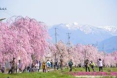 福岛,日本- 4月16,2016 :在Nicchu林的啜泣的樱桃 库存照片