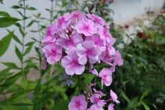 福禄考花在桃红色树荫下  库存图片
