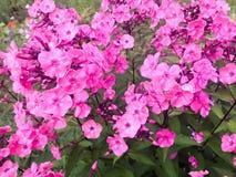 福禄考许多小紫色花与大明亮的水多的新瓣招标的反对绿草和叶子背景  库存照片