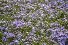 福禄考subulata,爬行福禄考,山福禄考 小,五有花瓣花在蓝色开花 库存照片
