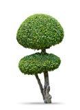 福金茶树[卡尔莫纳retusa (Vahl) Masam ]隔绝在白色 免版税库存照片