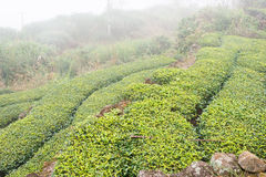 福建,中国- 2015年12月24日:茶园在西平老镇 库存图片
