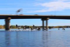 离开为飞行的加拿大鹅做飞溅在水 库存照片