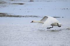 离开为飞行的大白色天鹅,当跑在水时 免版税库存图片