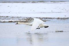 离开为飞行的大白色天鹅,当跑在水时 库存图片