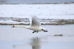 离开为飞行的大白色天鹅,当跑在水时 免版税库存照片