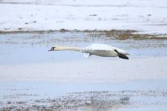 离开为飞行的大白色天鹅 免版税库存图片