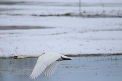 离开为飞行的大白色天鹅 免版税库存照片