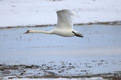 离开为飞行的大白色天鹅 库存照片