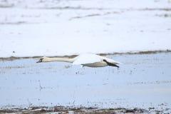 离开为飞行的大白色天鹅 图库摄影
