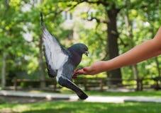 离开从儿童` s手的一只野生鸽子在他采取食物的公园,植被和骗局被弄脏的背景的  免版税库存图片