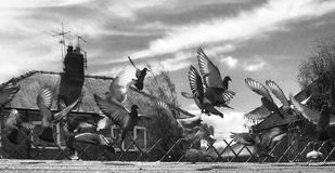 离开从只有单面倾斜的屋顶的鸽子 库存图片