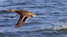 离开从湖的野鸭的美好的图象 库存照片