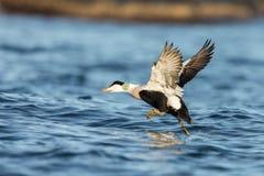 离开从蓝色海洋的共同的绒鸭男性在冬天 库存图片