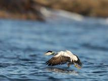 离开从蓝色海洋的共同的绒鸭男性在冬天 免版税库存照片