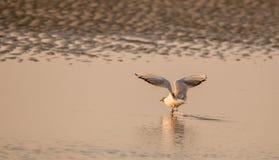 离开在日落的海鸟 库存图片