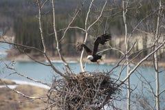 离开巢的美国白头鹰 免版税图库摄影
