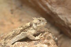 离开有角的蜥蜴 库存照片