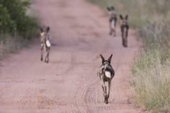 离开沿泥铺跑道的盒非洲豺狗对狩猎 库存照片