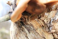 离开的庭院 在结构树的蘑菇 可食的蘑菇蚝蘑 生长在一棵击倒的树的蘑菇 不可食的蘑菇 图库摄影