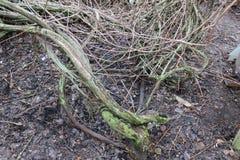 离开的庭院 长得太大的葡萄 在青苔的藤 有桶的一个庭院浇灌的 老庭院 免版税图库摄影