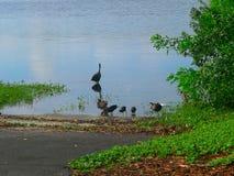 水禽与他们小一个在瓦尔登湖湖 免版税库存照片