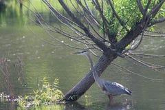 水禽和河树 库存照片