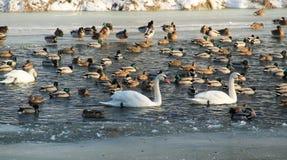 水禽在冬天 免版税图库摄影