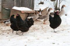 禽畜。 免版税库存图片