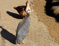禽畜在围场附近走 Pintado 免版税库存图片