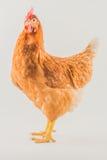 禽畜-布朗层数母鸡 免版税图库摄影