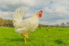 禽畜-白色层数(自由放养) 图库摄影