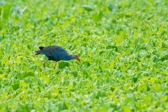 水禽走overplant (紫色Swamphen)作为背景 免版税库存照片