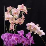 秀丽五颜六色的兰花花 免版税库存图片