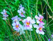 秀丽五颜六色的兰花 免版税库存图片