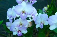 秀丽五颜六色的兰花 库存照片