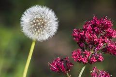秀丽和野兽蒲公英种子头和红色花 库存图片