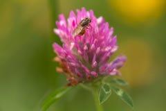 秀丽和野兽,在三叶草花的臭虫 免版税库存图片