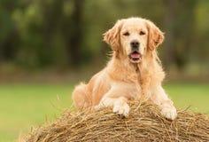 秀丽在干草捆的金毛猎犬狗 图库摄影