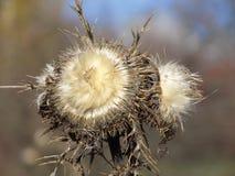 秀丽在观察员的眼睛 杂草可以美丽的 免版税图库摄影