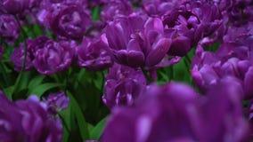 秀丽开花的紫色郁金香 股票视频