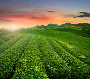 秀丽新鲜的绿茶 库存图片