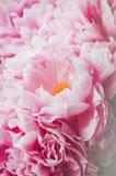 秀丽束桃红色牡丹牡丹花 背景细部图花卉向量 春天或夏天可爱的花束 绽放爱概念 卡片,文本pla 免版税库存照片