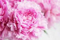 秀丽桃红色牡丹花 免版税库存图片