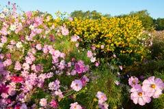 秀丽桃红色金鸡菊开花和黄色花 免版税库存图片