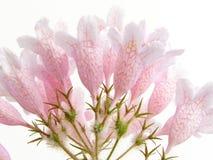 秀丽灌木粉红色 免版税库存照片