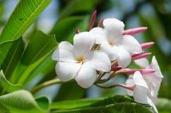 秀丽白色和桃红色羽毛花 免版税库存照片