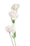 秀丽白花 南北美洲香草 免版税库存图片