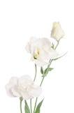 秀丽白花 南北美洲香草 免版税库存照片