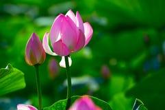 秀丽的莲花和alabastrum 库存照片